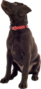 Brown dog with red collar